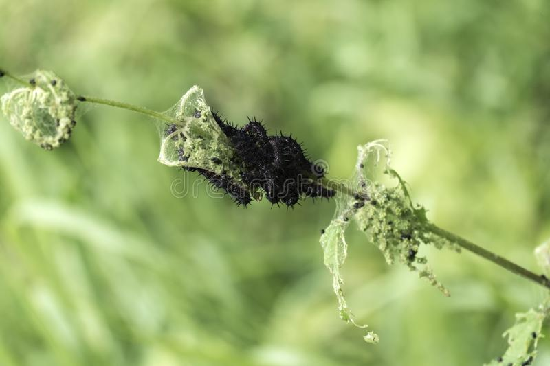Tangle of caterpillars butterfly peacock devouring nettle leaves. Aglais io stock photos