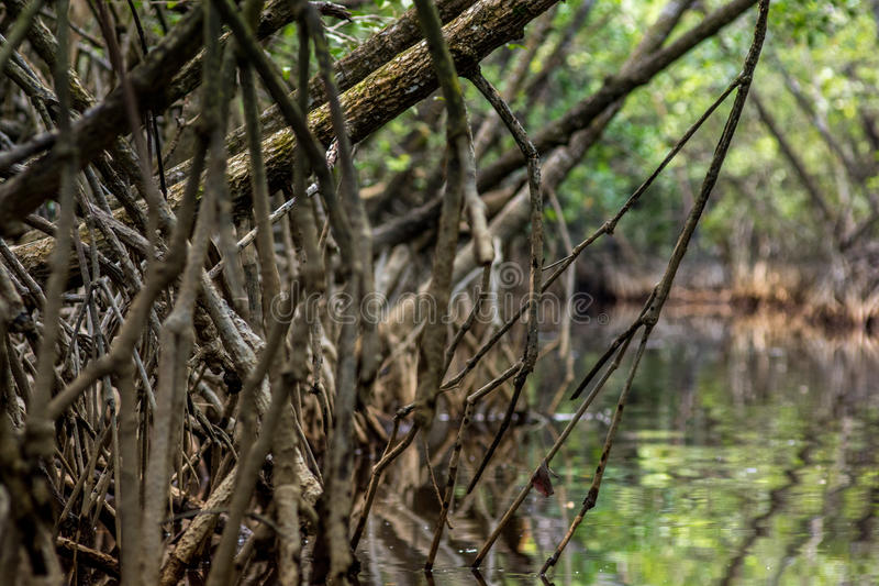 Download Tangle Of Mangrove Tree Roots And Branches Growing In To A Calm Stock Image - Image of climate, swamp: 89704231