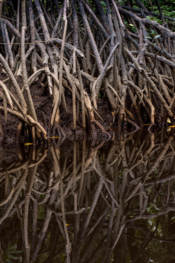 Download Tangle Of Mangrove Tree Roots And Branches Growing In To A Calm Stock Image - Image of coastal, swamp: 89704465