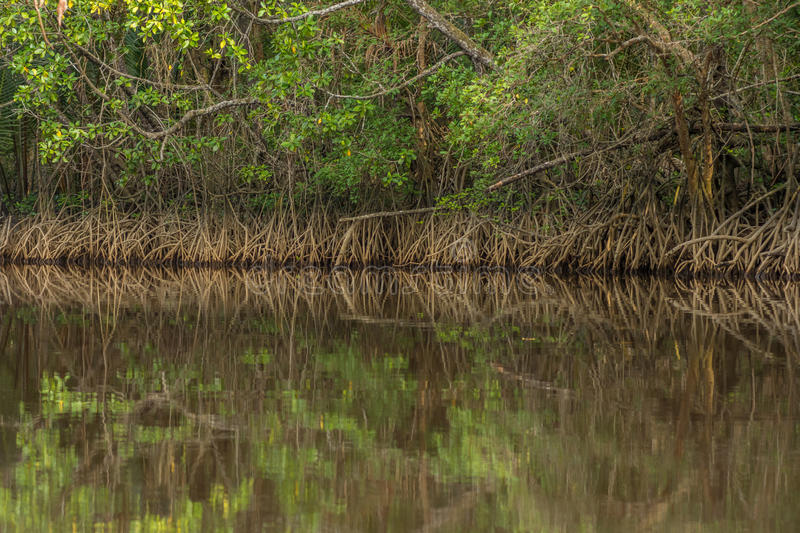 Download Tangle Of Mangrove Tree Roots And Branches Growing In To A Calm Stock Image - Image of climate, woodland: 89704563