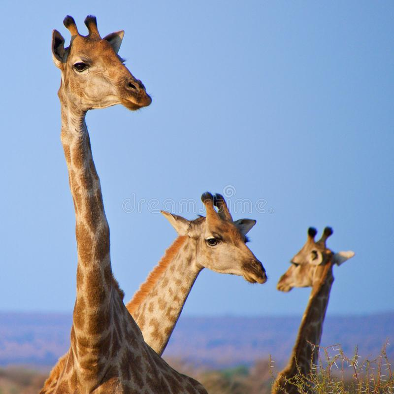 Southern giraffe. A tangle of southern giraffe head against the blue sky. Madikwe Game Reserve, South Africa stock photo