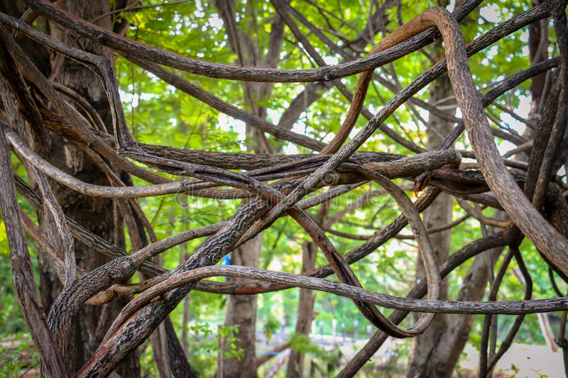 Tangled aerial roots of a tree stock photos