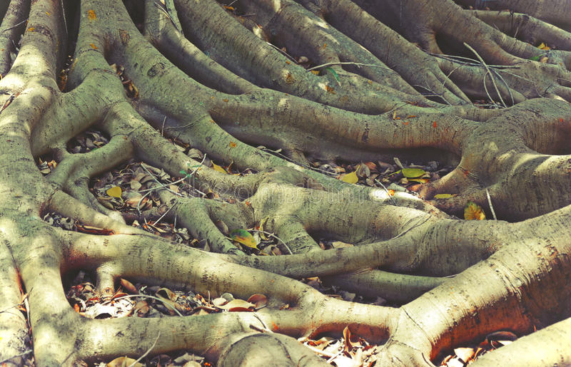 Tangled fig tree roots stock photography