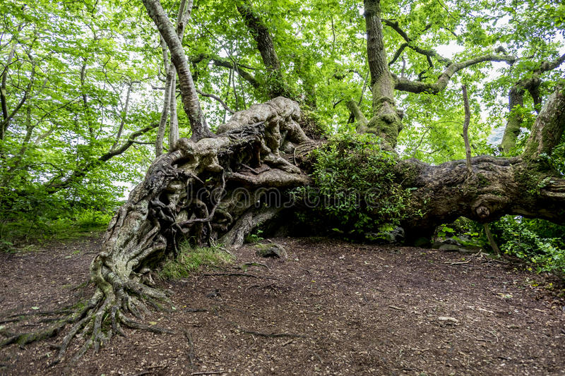 Tangled roots of an ancient tree. Exposed tangled roots of a large old fallen tree continuing to grow in Scottish woodland royalty free stock images