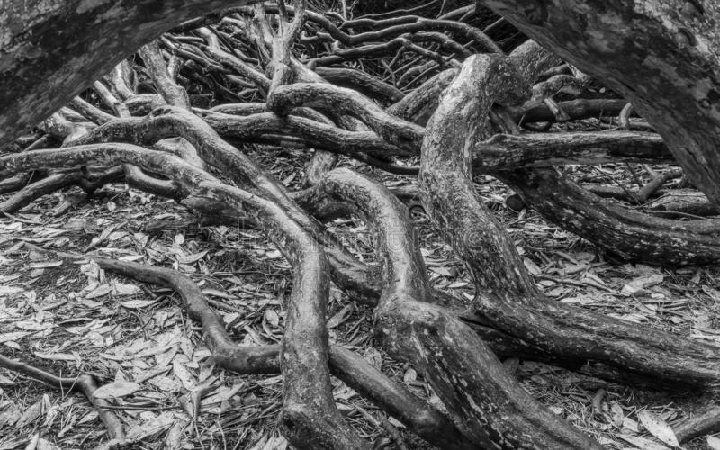 Tangled tree branches black and white stock photo