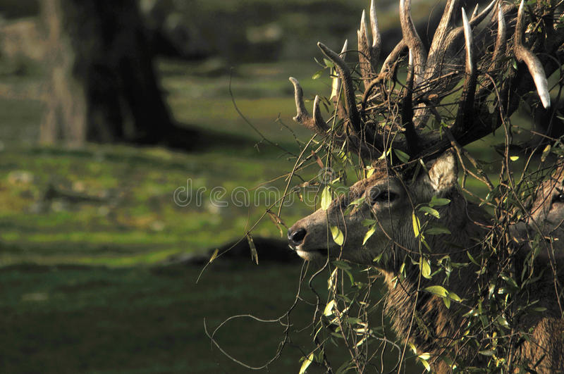 Tangled up. Red deer stag, Cervus elephus, tanlged with bush lawyer vine in Westland, New Zealand royalty free stock image