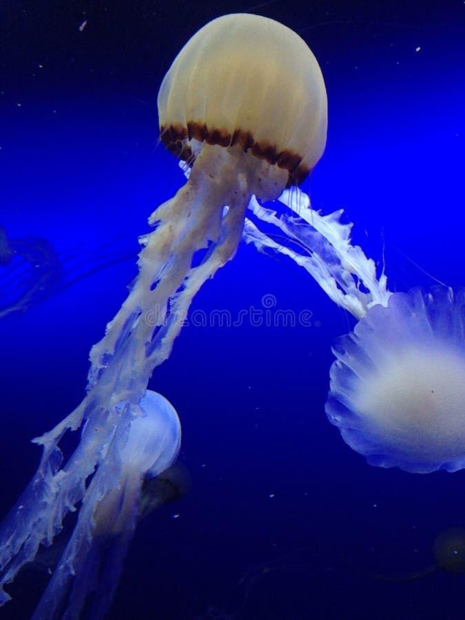 Taniec jellyfish obrazy stock