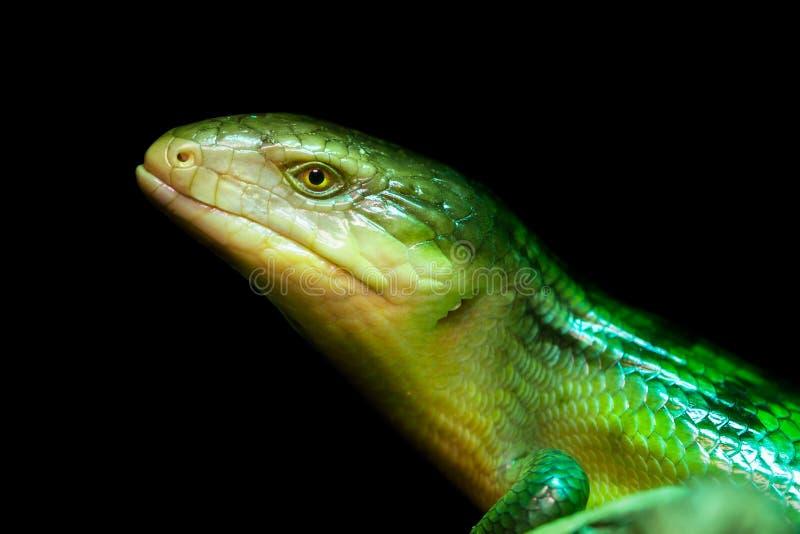 Tanimbar skink, green lizard standing on a piece of wood. Tiliqua scincoides chimaerea close up stock photos
