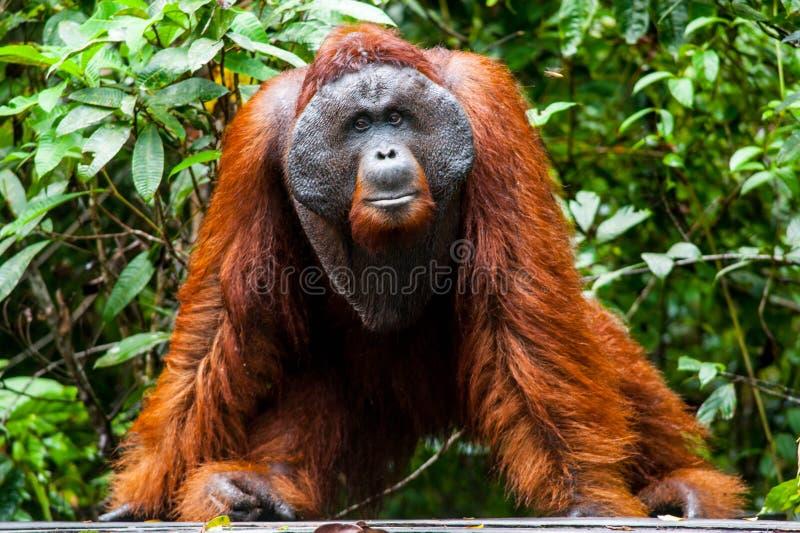 Tanjung de kalimantan do orangotango que põe o parque nacional Indonésia fotos de stock royalty free