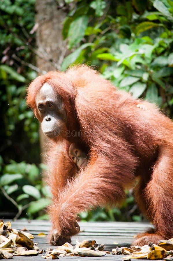 Tanjung di kalimantan dell'orangutan che mette il parco nazionale indonesiaputing Indonesia del parco nazionale immagini stock libere da diritti