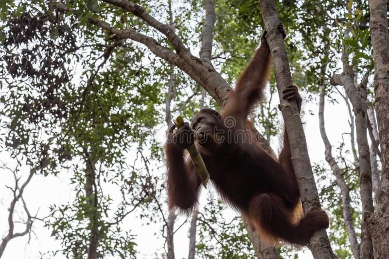 Tanjung mettant le parc national, Bornéo, Indonésie : un orang-outan sur une branche d'arbre pendant l'après-midi alimentant au c photographie stock