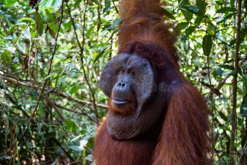 Tanjung mettant le parc national, Bornéo, Indonésie : une fin d'Alpha Male Orangutan photo stock