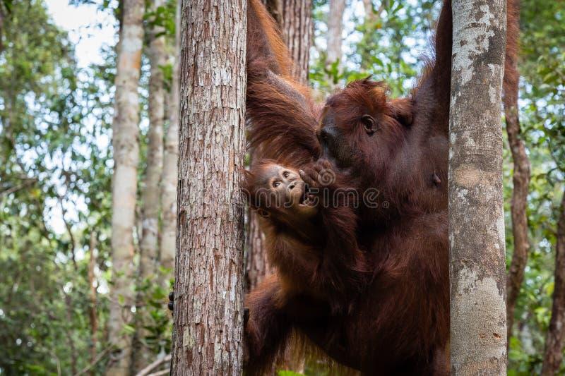 Tanjung mettant le parc national, Born?o, Indon?sie : un orang-outan de b?b? et sa m?re pendant l'apr?s-midi alimentant au camp L image libre de droits