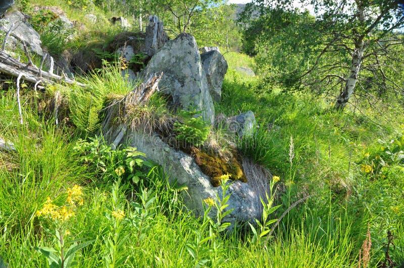 Tanne gewachsen auf Felsen stockfotografie