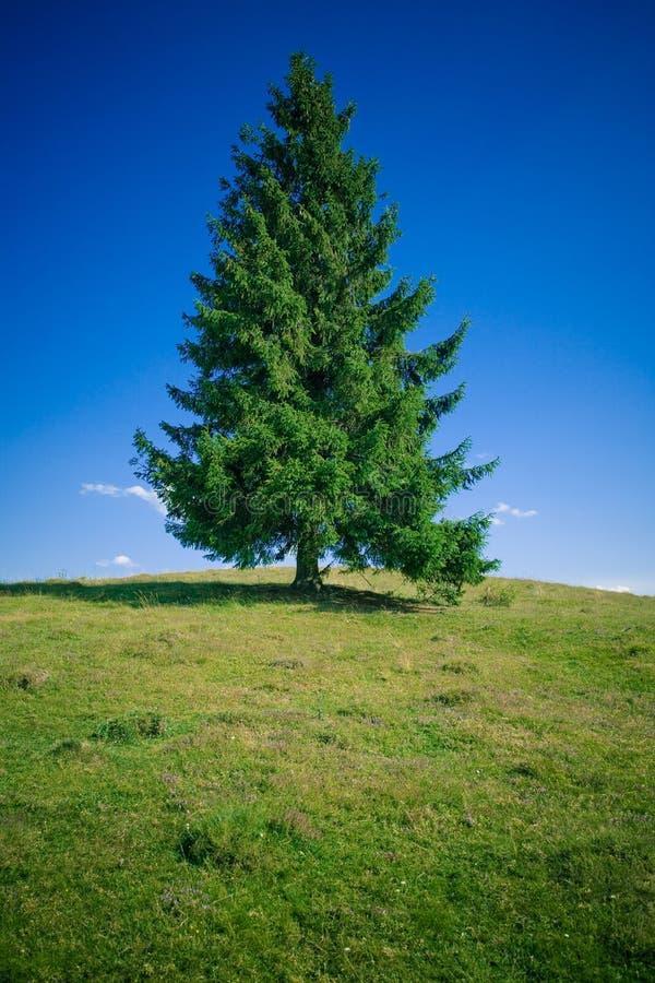Tannen-Baum lizenzfreie stockfotos