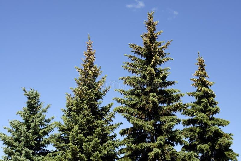 Tannenbäume lizenzfreies stockbild