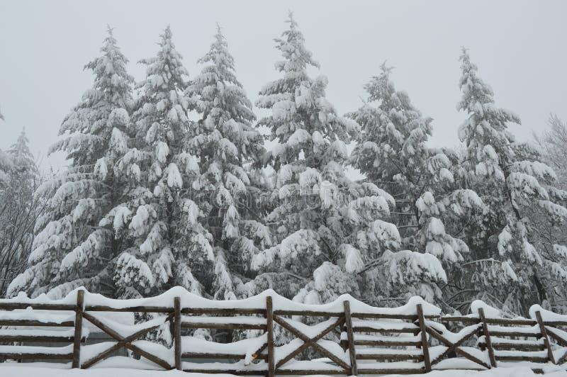 Tannenbäume bedeckt im Schnee und im hölzernen Zaun lizenzfreies stockbild