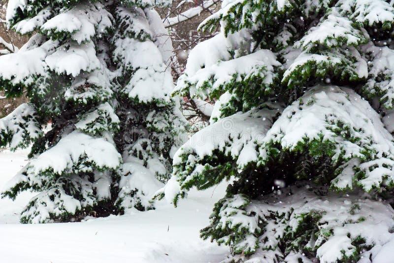 Tannenbäume bedeckt mit einer starken Schicht schneeweißem flaumigem Schnee stockbild