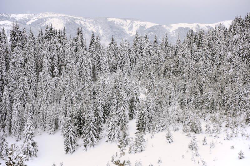 Download Tannenbäume im Schnee stockbild. Bild von nave, über - 27726385
