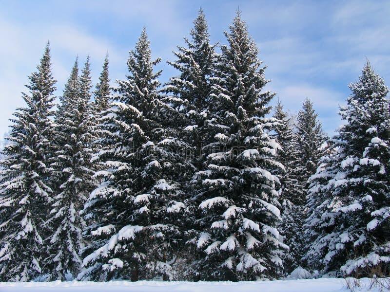 Tannenbäume unter dem Schnee stockbild