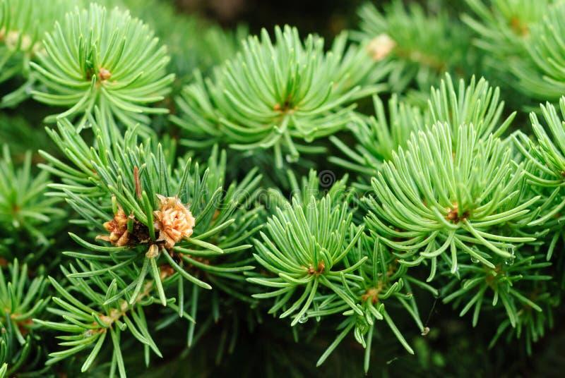 Tannenbaumblätter stockbild