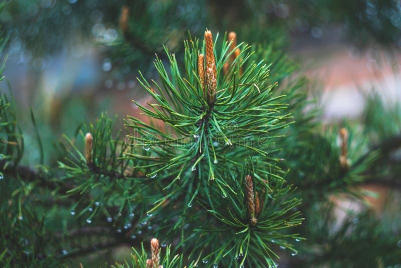 Tannenbaumzweig mit Kegeln Regentropfen auf gezierten Nadeln Gr?ne Kiefernniederlassungsnahaufnahme auf gr?nem nat?rlichem Hinter lizenzfreies stockbild