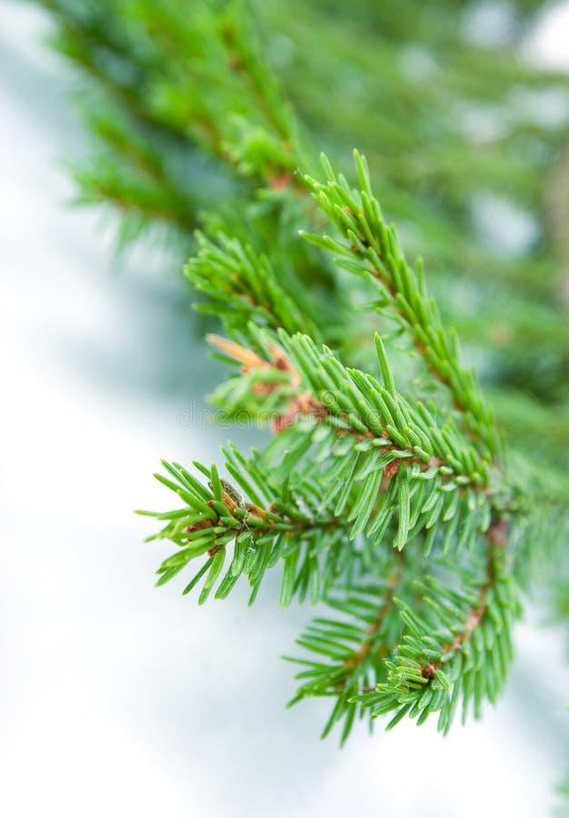 Tannenbaumzweige, Weihnachtsdekoration. stockbild