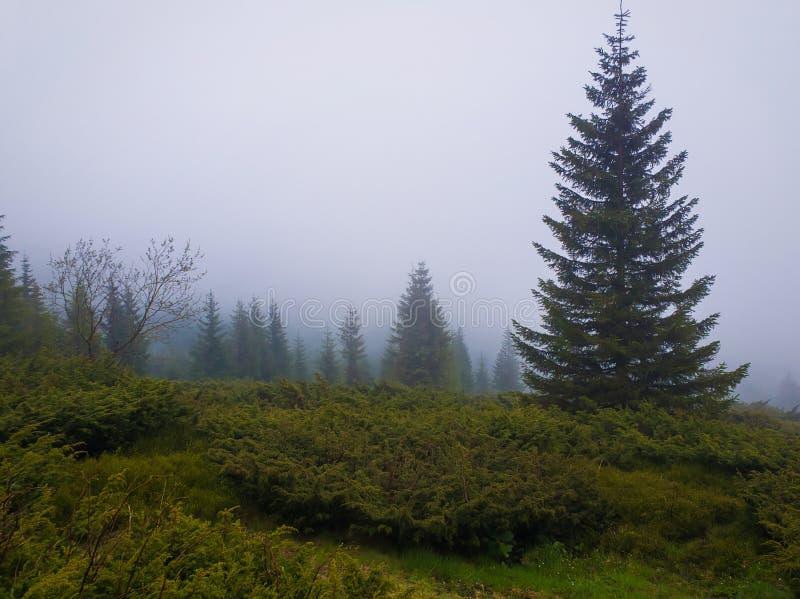 Tannenwald auf den Karpatengebirgshügeln an einem kalten nebeligen Frühlingsmorgen Ruhige Landschaftslandschaft stockbild