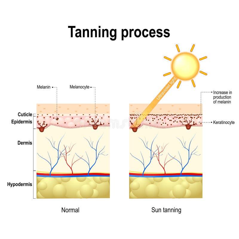 Tanning Process. Skin. Human Anatomy Stock Vector - Illustration of ...