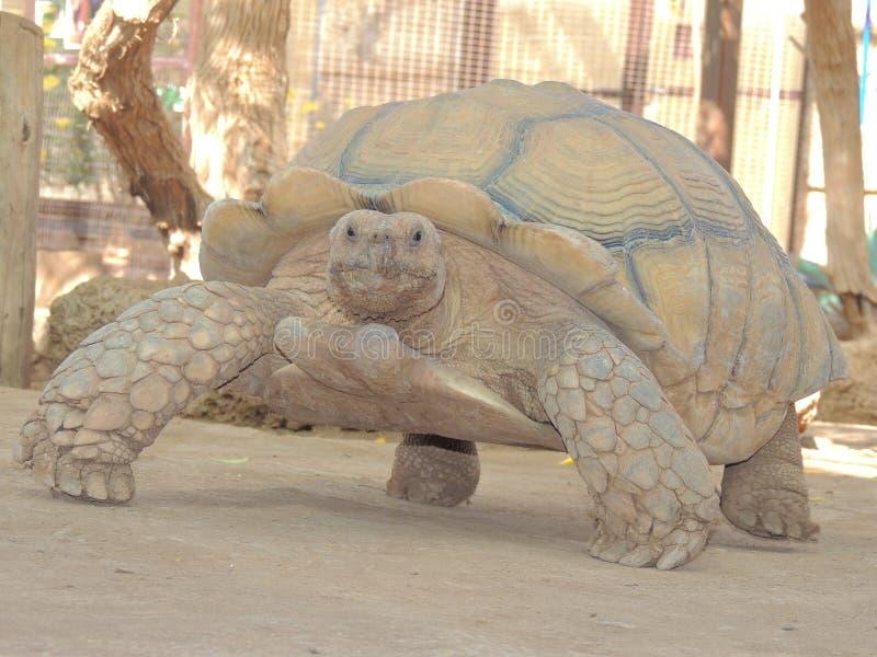 Tanque da tartaruga fotos de stock