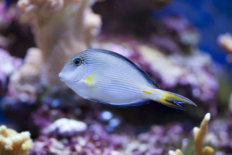 Tanque de peixes marinho do aquário foto de stock royalty free