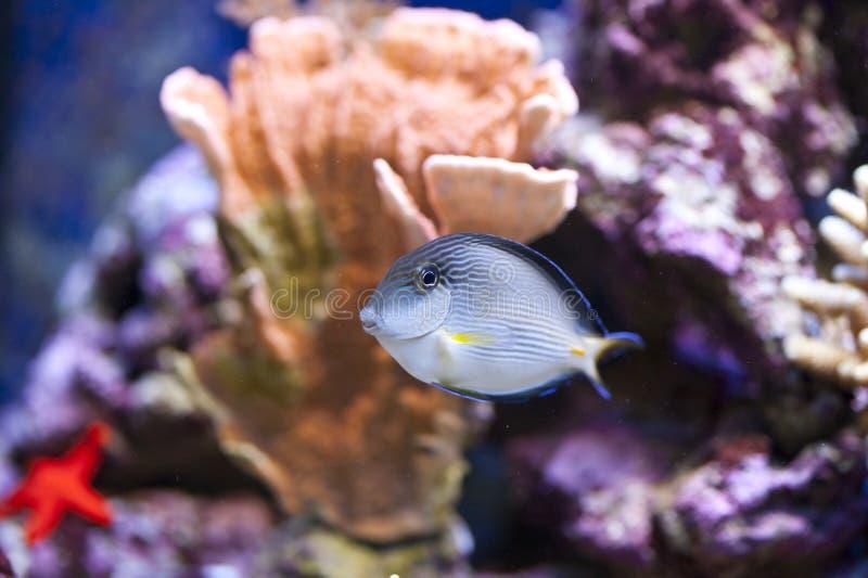 Tanque de peixes marinho do aquário fotos de stock