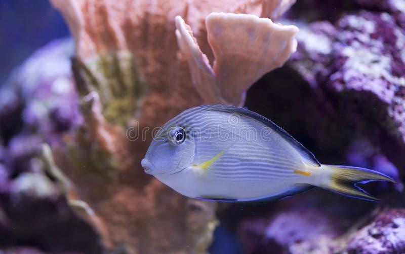 Tanque de peixes marinho do aquário fotos de stock royalty free