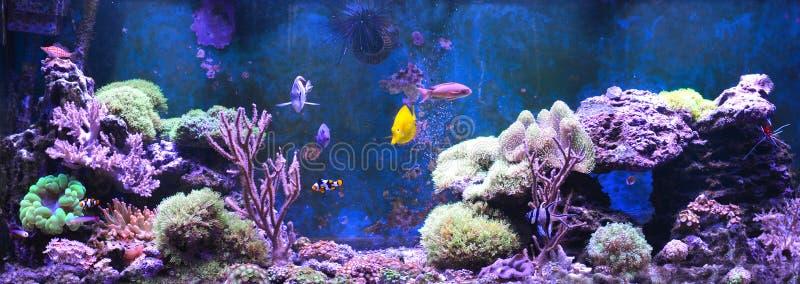 Tanque do recife, aquário marinho Tanque enchido com água para manter animais subaquáticos vivos Gorgonaria, fã de mar Clavularia fotos de stock
