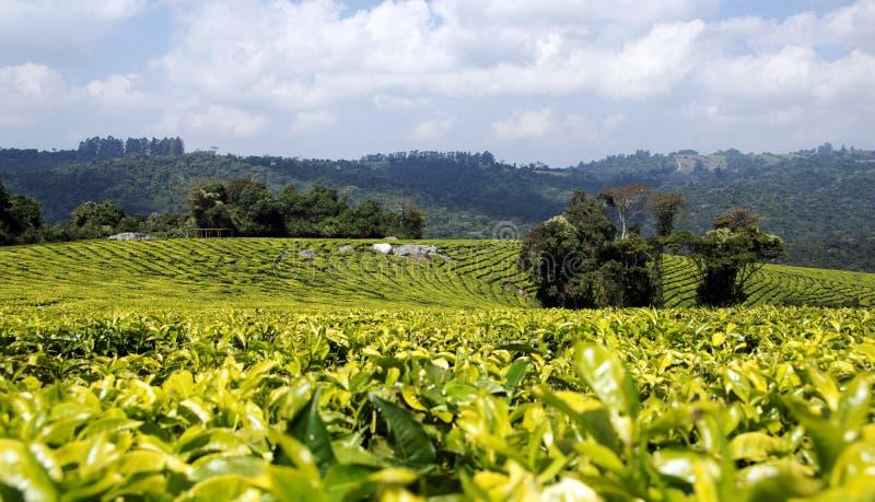 Tansanische Teeplantage lizenzfreie stockfotos