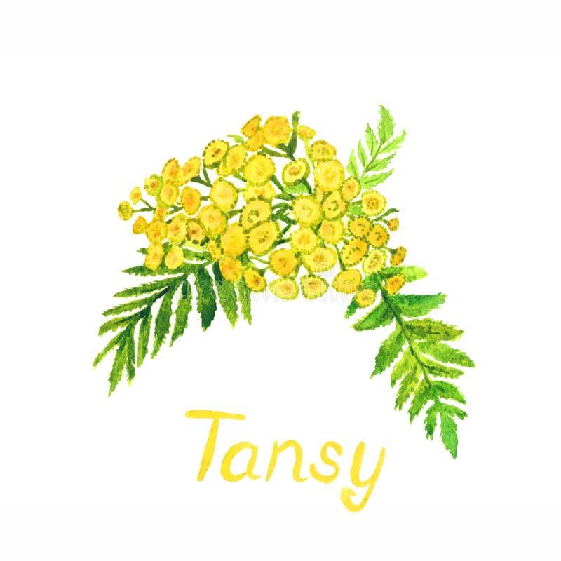 tansy fotos de stock