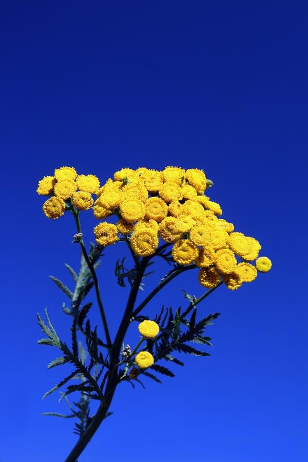 Tansy bajo el cielo azul fotos de archivo
