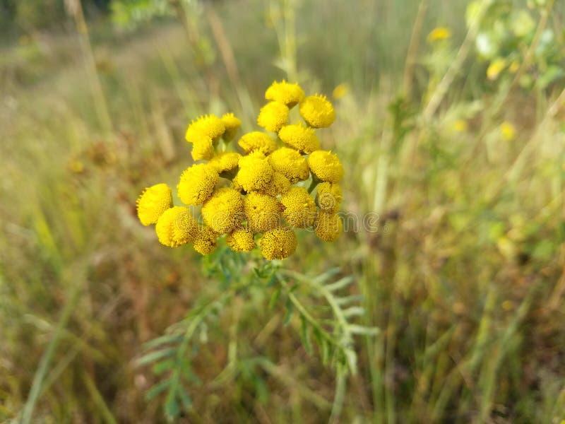 Tansy, Blütenstände, Anlagen von Mittel-Russland vektor abbildung