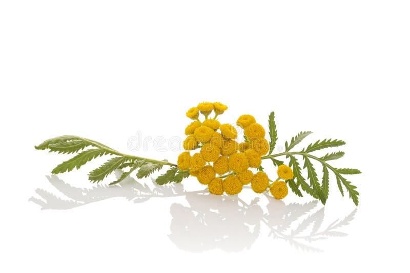 Tansy, Tanacetum vulgare. stock photos