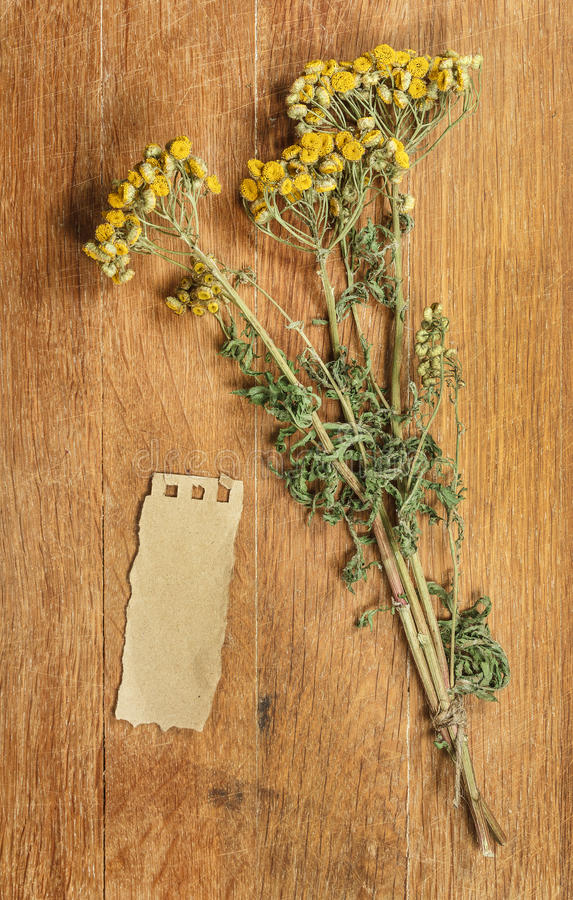 tansy Herbes sèches Phytothérapie, herbe médicinale phytotherapy photo stock