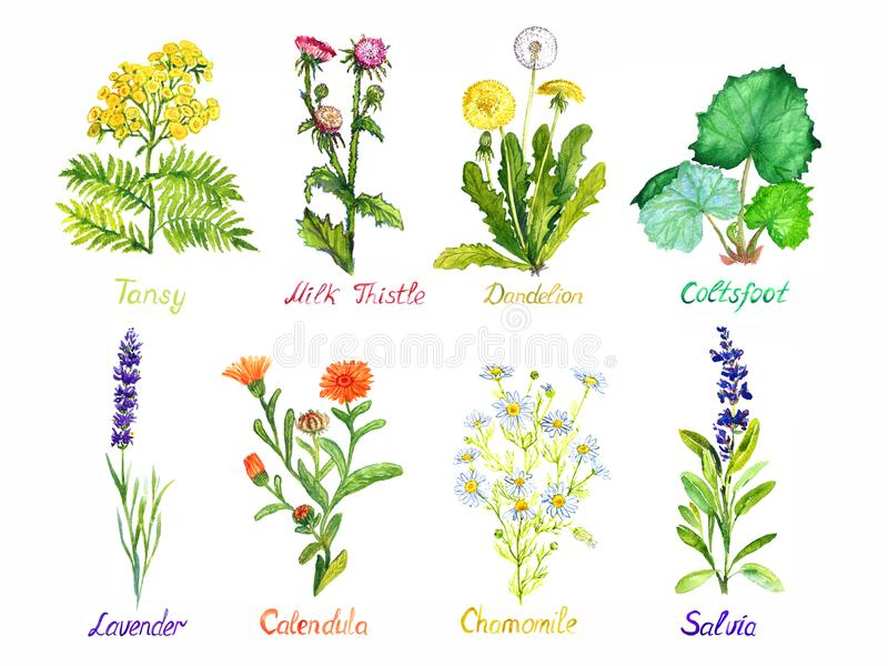 Tansy, milk thistle, dandelion, coltsfoot, lavender, calendula, chamomile and salvia, medical wild flowers collection, isolated. On white, hand painted royalty free stock images