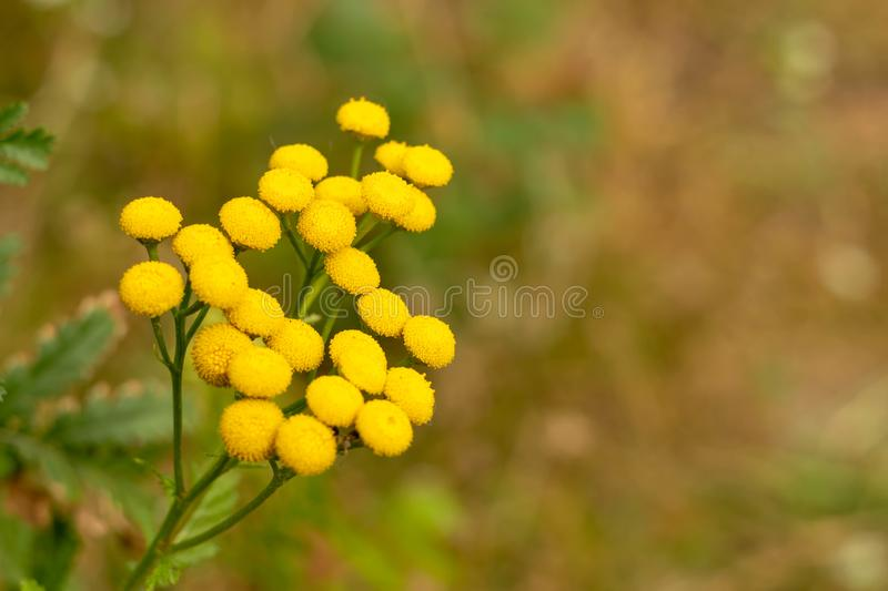 Tansy Tanacetum vulgare is a perennial, herbaceous flowering plant of the aster family, native to temperate Europe and Asia royalty free stock photography