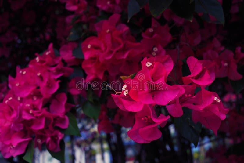 Tant de fleurs roses font le tunnel de fleur Si romantique ! photo stock