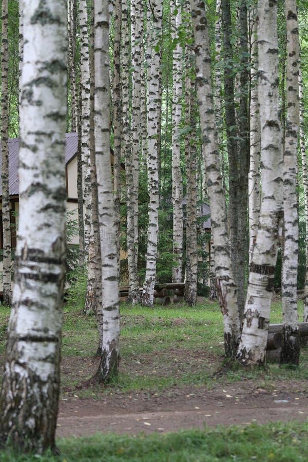 Tanto bella betulla nella foresta fotografie stock