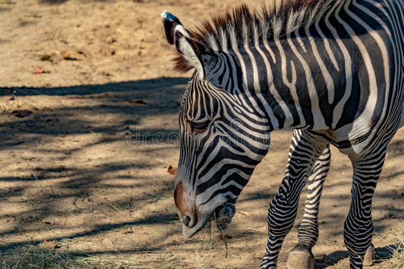 Tanzania zebra royalty free stock photography