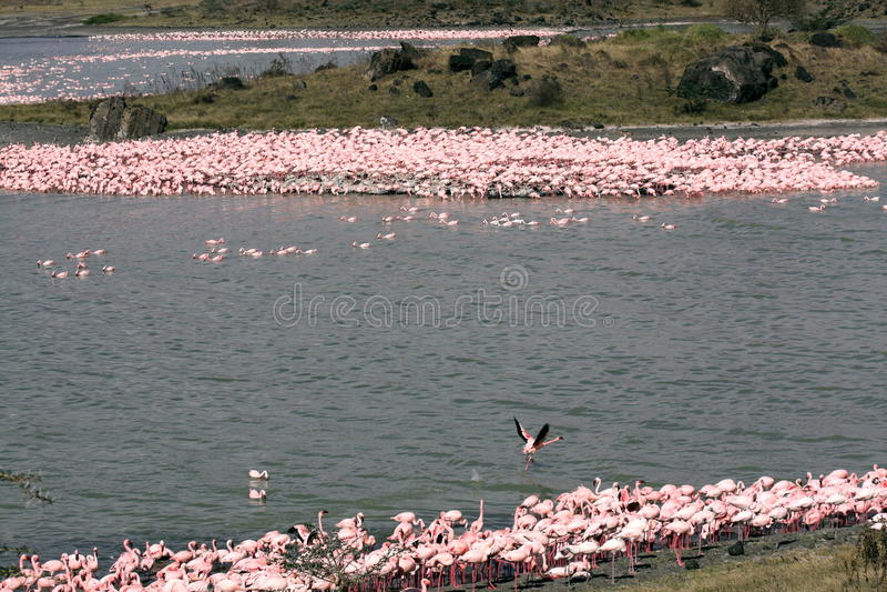 Tanzanian Flamingos royalty free stock images