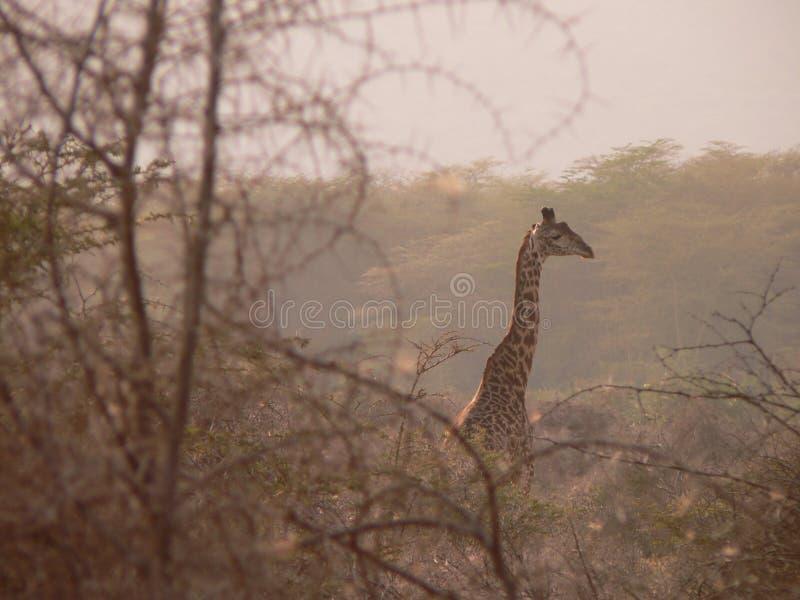 Tanzanian Giraffe stock photo
