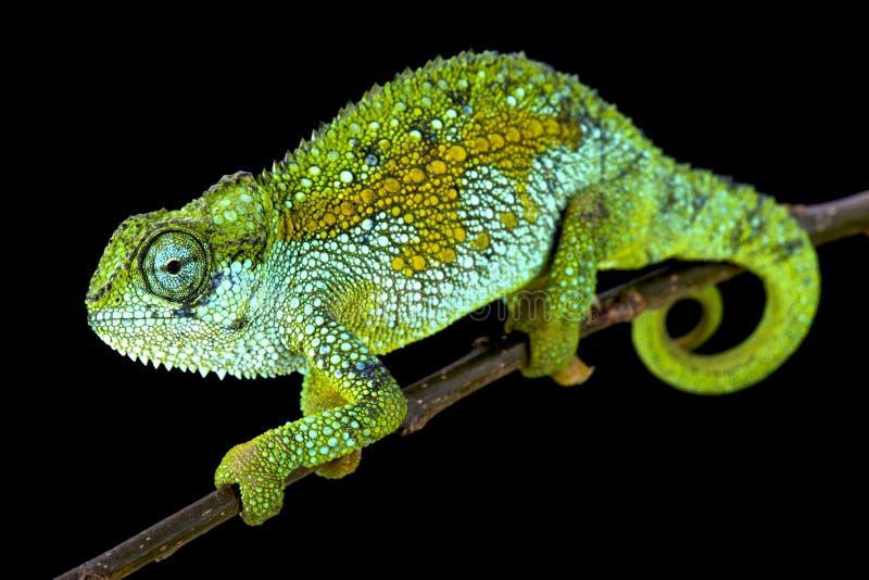Tanzanian Montane Dwarf Chameleon (Trioceros sternfeldi) male. The Tanzanian Montane Dwarf Chameleon (Trioceros sternfeldi) male is an inhabitant of the extreme royalty free stock image
