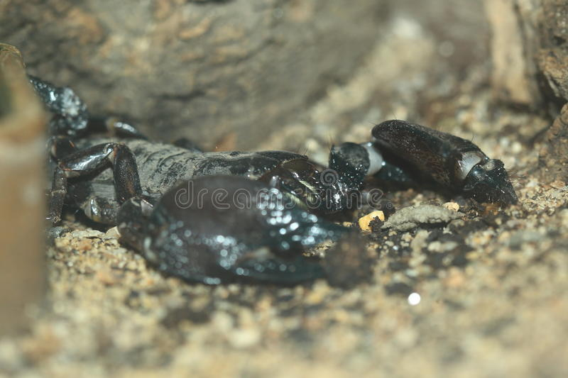 Tanzanian Red Clawed Scorpion. On the soil royalty free stock images
