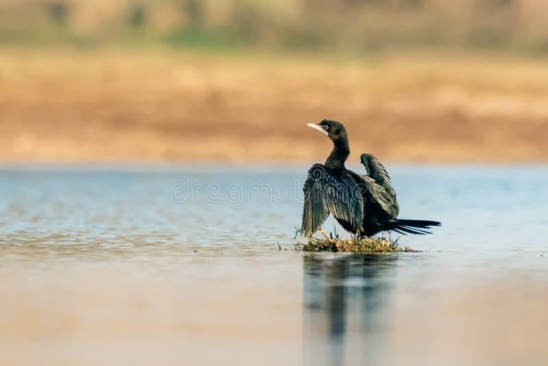 Tanzen des großen Kormorans auf Wasser lizenzfreie stockfotos
